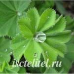 Женская трава манжетка — лечебные свойства и применение