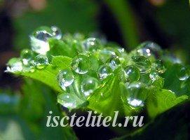 Манжетка - лечебная трава
