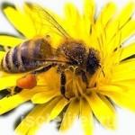 Пчелиная пыльца с медом помогут при многих заболеваниях!