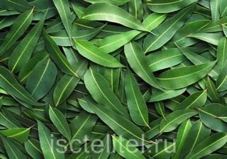 Лечение эрозии листьями эвалипта