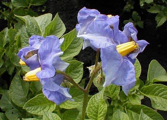 Лечение фарингита картофельными цветками
