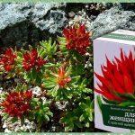 Красная щетка (трава родиола холодная): показания к применению